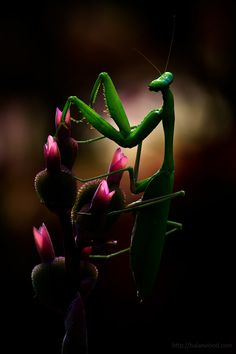 Praying Mantis- a protected species and a very valuable insect for gardeners