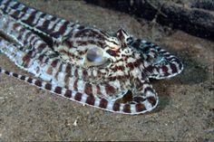 L'incroyable métamorphose de la pieuvre mimétique - Linternaute.com Nature