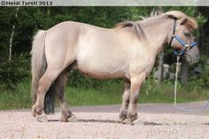 Shetland Pony - gelding Prinss Bertil