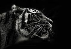 Tiger Profile / Sydney's Taronga Zoo / EMILY MATTINGLEY ▶ #photography #animal #wildlife #blackandwhite