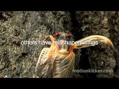 Cicadas making mating history in Missouri, but none of the love expected in St. Louis