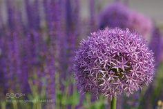 Purple rain by gabriele66 #nature #photooftheday #amazing #picoftheday