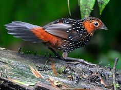 Zilverpareltapaculo - Ocellated Tapaculo (Acropternis orthonyx) in Ecuador by Larry Thompson.