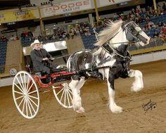 Drum Horse stallion Monarch