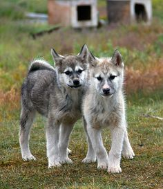 //Greenland dogs//The Greenland dog is an ancient breed, thought to be directly descended from those brought to the island by the first Inuit settlers. As is common among sled dogs, Greenland dogs are able to traverse very difficult terrain with ease and are valued for their physical strength and endurance.