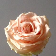 "Pearl Avalanche - the perfect pale coral rose    This rose....  ""A summer flower  In the perfect autumnal  Shade of coral peach""  Ode to the Pearl by @flowerseting"