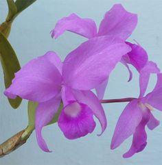 Labelo de la flor de la #orquídea #Cattleya