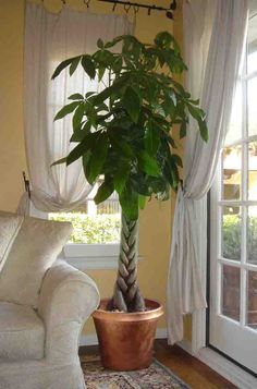 Money Tree (Pachira Aquatica): Plants tolerate close to full shade. They are best sited in locations protected from strong winds. Plants grow well in areas that are flooded for part of the year. If grown away from water bodies, plants need consistent moisture. Houseplants perform best in bright light with moderate but even moisture.