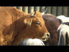 Spannender Youtube-Kanal zum Thema Alte Nutztierrassen Horses, Youtube, Animals, Agriculture, Animales, Animaux, Horse, Animal Memes, Animal