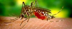 Le zanzare e il virus del Nilo occidentale