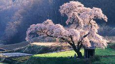 日本の風景、桜 壁紙 - 1920x1080