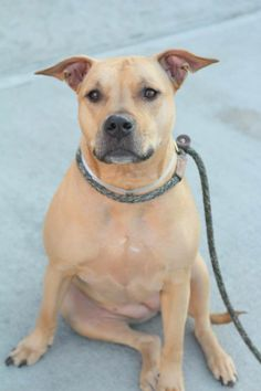 SUPER URGENT  SUN 1/5/14  Brooklyn Center   CARMA - A0720934   ***RETURNED 12/26/13***She was a FAMILY PET her entire life & sadly, owner is ill. House/crate trained, good w/ strangers, knows a few commands & desperately in need of a good forever home. Friendly & sweet. Fantastic on leash (doesn't pull) & seems fine w/ other dogs. Did great on behavior exam, a little tense w/ paw squeeze, retrainable! Carma misses her family very much! Will you be able to open your home to this beautiful…