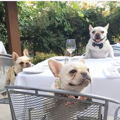 Frenchies, party of three!