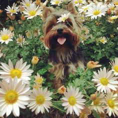 Yorkie in the daisies
