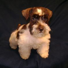 Toy Schnauzer Puppies For Sale   Toy Schnauzer Dog Breed   Cute Puppies For Sale