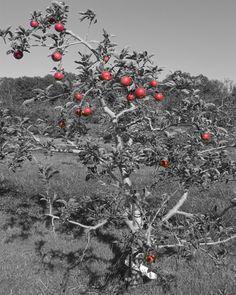 apple tree - beautiful