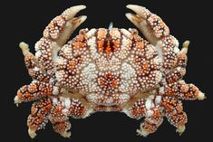 A database for the species of crustacea Decapoda, shrimps, lobsters, crabs, hermit crab Beautiful Sea Creatures, Deep Sea Creatures, Animals Beautiful, Rare Animals, Unique Animals, Zoo Animals, Beautiful Tropical Fish, Beautiful Fish, Crab Art