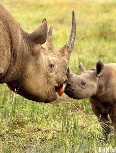 touching... black rhino n his baby | by Daryl Dell https://www.instagram.com/p/zCBfSqmNWD/