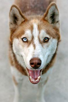 Precioso Husky con los ojos de diferente color (Fotografía de ★MARICE★)
