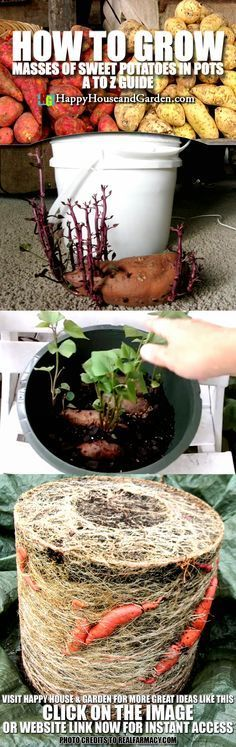 How to Grow Masses of Sweet Potatoes in Pots A to Z Guide