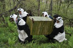 Workers wear panda costumes as they carry a box to transport Giant Pandas back to the wild, at the Wolong National Nature Reserve in Wolong, southwest China's Sichaun province on May 3.the bears find it very hard to survive on their own. (AFP/Getty Images) #