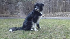 Beauregard a 6 year old border collie dog writes about some things about dog shows, dog breeding and dog health that every dog and animal lover will want to know. Dog Show, Dog Breeds, Dogs And Puppies, Author, Spaces, Animals, Animais, Animales, Animaux