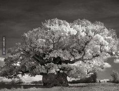 Dia Menghabiskan Waktu 14 Tahun Untuk Mengabadikan Foto Dari Pohon Tertua Di Dunia