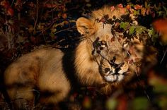 Lion Photo by Susan McConnell -- National Geographic Your Shot