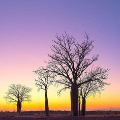 Striking sunset silhouettes, captured by Ben Knapinski Photography - BJK. You'll find heaps of these Australian Boab trees in the Kimberley region of Western Australia - they're widely known as an icon of the area. And if you love wide open spaces, this is the place for you - covering nearly 423,000 square kilometres, this ancient region has fewer people per square kilometre than almost any other place on earth.