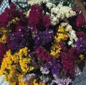 DRIED / CUT FLOWER - A RANGE OF FLOWERS THAT ARE SUITABLE FOR USE IN EITHER CUT OR DRIED FLOWER ARRANGING