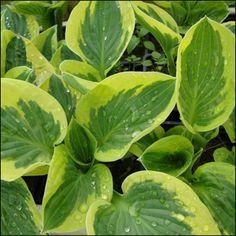 Jalokuunlilja 'Brim Cup'<br>Hosta 'Brim Cup' Curb Appeal, Plant Leaves, Vegetables, Garden, Plants, Garten, Lawn And Garden, Vegetable Recipes, Gardens