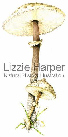 http://www.lizzieharper.co.uk/image/1546/Parasol_mushroom.jpg
