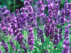 Lavender 'Munstead' in A Gallery of Fragrant Plants from HGTV