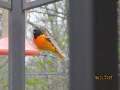 Baltimore Oriole Baltimore Orioles, Wildlife, Cottage, Bird, Animals, Animais, Casa De Campo, Animales, Animaux