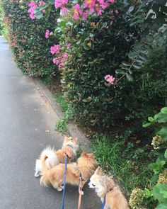 秋ですねー  #花に気づかず #chihuahua #dog #dogoftheday #dogofthedayjp #dogsofinstagram #チワワ #ふわもこ部 #chihuahuadog #chihuahuaofinstagram #animal #onlychihuahua  #しっぽふぁさ部