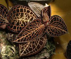 Anoectochilus albolineatus - Поиск в Google