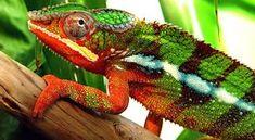 Bukalemunlar neden ve nezaman renk değiştirler ? - Bilgi Deryası