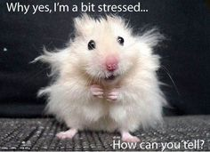 stressed hamster; Why yes, I'm a bit stressed ... How can you tell?