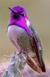 I'm just a pretty bird with a purple hair-dew sitting on cactus needles. Beautiful Creatures, Animals Beautiful, Cute Animals, Cute Birds, Pretty Birds, Exotic Birds, Colorful Birds, Funny Bird, Hummingbird Pictures