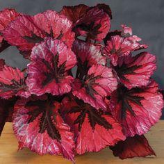 Begonia 'Miami Storm' p.p. (Begonia rex hybrid) from Logees