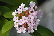 Rubiaceae: family of flowering plants (coffee family, madder family, bedstraw family); contains coffee, quinine, gambier, medicinal ipecacuanha; madder, west Indian jasmine, partridgeberry...