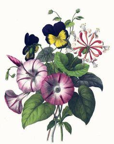 Vivid and bright, vintage botanical print of pink morning glories, purple pansies and honeysuckle.