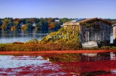 Cranberry Bogs Cape Cod | Cranberry Bog on Cape Cod getting ready to harvest it's crop of ...