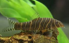 Zebra Loach (FW) I have 3 of them with various other Loachies.