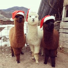 Alpacas, Cute Funny Animals, Cute Baby Animals, Animals And Pets, Beautiful Creatures, Animals Beautiful, Cute Alpaca, Alpaca Funny, Baby Alpaca