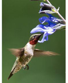 Adult male Ruby-throated Hummingbird, photo by Stephen C. Bosshardt