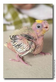 Baby cockatoo or teel or whatever. There cute in a weird way. So ugly its cute.