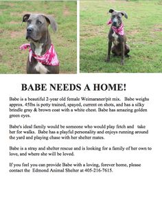 Weimaraner Mixed breed  Contact Edmond Animal Shelter 405-216-7615 Tuesdays Tails #28:  Babe is Back
