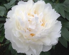 Bowl of Cream - Midseason Lactiflora, double, creamy white, large flowers, lightly fragrant, good grower, has good potential to become on the `good` list of well paid cutflowers, American Peony Society Best in Show - Grand Champion 1994 and American Peony Society Gold Medal 1981, (Klehm, 1963).
