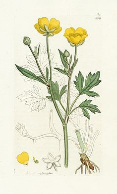 James Sowerby Botanical Prints 1791